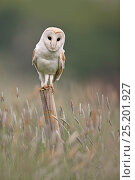 Barn Owl (Tyto alba) portrait on fence post, UK, May. Стоковое фото, фотограф Andy Rouse / Nature Picture Library / Фотобанк Лори