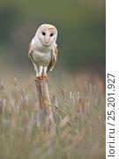 Купить «Barn Owl (Tyto alba) portrait on fence post, UK, May.», фото № 25201927, снято 25 сентября 2018 г. (c) Nature Picture Library / Фотобанк Лори