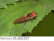 Купить «Hoverfly (Xanthandrus comtus) on leaf, Brockley Cemetery, Lewisham, UK, August.», фото № 25202027, снято 16 октября 2019 г. (c) Nature Picture Library / Фотобанк Лори