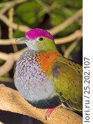 Купить «Male Superb Fruit Dove (Ptilinopus superbus) captive from Australasia.», фото № 25202107, снято 21 октября 2018 г. (c) Nature Picture Library / Фотобанк Лори