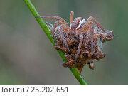 Купить «Raft spider (Dolomedes fimbriatus) on rush seed head, Klein Schietveld, Brasschaat, Belgium», фото № 25202651, снято 25 апреля 2018 г. (c) Nature Picture Library / Фотобанк Лори