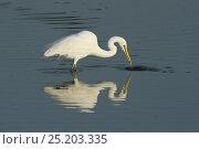 Купить «Western great egret (Egretta alba) fishing, Oman, February», фото № 25203335, снято 11 июля 2020 г. (c) Nature Picture Library / Фотобанк Лори