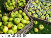 Купить «Harvesting Bramley apples, freshly picked apples sorted and placed in wooden trays and protected with newspaper, England, October,», фото № 25203891, снято 20 июля 2018 г. (c) Nature Picture Library / Фотобанк Лори