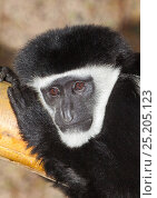 Купить «Eastern Black-and-white Colobus (Colobus guereza caudatus) captive from Central Africa.», фото № 25205123, снято 21 января 2020 г. (c) Nature Picture Library / Фотобанк Лори