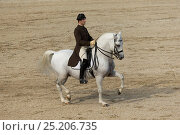 Купить «Rider from the Spanish Riding School on a Lipizzaner stallion performing dressage movements, Annual Autumn Parade, Piber Federal Stud, Maria Lankowitz...», фото № 25206735, снято 11 декабря 2017 г. (c) Nature Picture Library / Фотобанк Лори