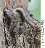 Купить «Siberian flying squirrel (Pteromys volans) juvenile, central Finland, June.», фото № 25207095, снято 12 мая 2019 г. (c) Nature Picture Library / Фотобанк Лори