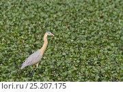 Купить «Whistling Heron (Syrigma sibilatrix) Brazil, August.», фото № 25207175, снято 16 июня 2019 г. (c) Nature Picture Library / Фотобанк Лори