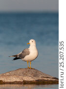 Купить «Common Gull (Larus canus canus) on coast, southern Finland, May.», фото № 25207535, снято 23 сентября 2018 г. (c) Nature Picture Library / Фотобанк Лори