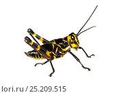 Купить «Soldier Grasshopper nymph (Chromacris speciosa) Gamboa, Panama. Meetyourneighbours.net project», фото № 25209515, снято 19 февраля 2019 г. (c) Nature Picture Library / Фотобанк Лори