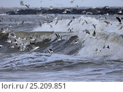 Купить «Black-headed gulls (Chroicocephalus ridibundus), Common gull (Larus canus) and Herring Gulls (Larus argentatus) flying over breaking wave,  Sea Palling, Norfolk, UK, March.», фото № 25209851, снято 7 апреля 2020 г. (c) Nature Picture Library / Фотобанк Лори