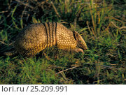 Southern three banded armadillo (Tolypeutes matacus) Brazilian Pantanal, municipality of Cáceres, Mato Grosso State, Western Brazil. Стоковое фото, фотограф Luiz Claudio Marigo / Nature Picture Library / Фотобанк Лори