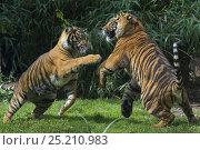 Купить «Sumatran tigers (Panthera tigris sumatrae) fighting, captive, native to Sumatra, Indonesia.», фото № 25210983, снято 20 февраля 2020 г. (c) Nature Picture Library / Фотобанк Лори