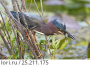 Купить «Green Heron (Butorides striatus) catching a small fish. Everglades, Florida, USA, March.», фото № 25211175, снято 17 июня 2019 г. (c) Nature Picture Library / Фотобанк Лори