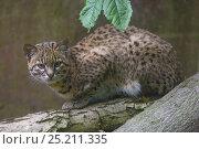 Купить «Geoffroy's cat (Leopardus geoffroyi), captive, native to South America.», фото № 25211335, снято 22 июля 2019 г. (c) Nature Picture Library / Фотобанк Лори