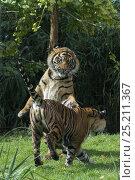 Купить «Sumatran tigers (Panthera tigris sumatrae) fighting, captive, native to Sumatra, Indonesia.», фото № 25211367, снято 20 февраля 2020 г. (c) Nature Picture Library / Фотобанк Лори