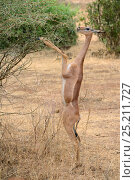 Купить «Gerenuk (Litocranius walleri) standing on hind legs browsing on acacia trees, Samburu National Reserve, Kenya, Africa.», фото № 25211727, снято 22 июля 2019 г. (c) Nature Picture Library / Фотобанк Лори
