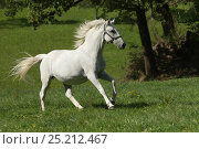 Купить «A Lipizzaner breeding mare running, Piber Federal Stud, Maria Lankowitz, Koflach, Styria, Austria, September. Editorial use only.», фото № 25212467, снято 27 мая 2018 г. (c) Nature Picture Library / Фотобанк Лори