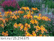 Купить «Alstroemeria 'Golden Delight' / Peruvian lily, in flower in garden, UK, July.», фото № 25214675, снято 25 апреля 2018 г. (c) Nature Picture Library / Фотобанк Лори
