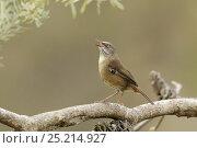 Купить «Tasmanian Scrubwren (Sericornis humilis) adult singing. Tasmania, Australia, endemic to Tasmania.», фото № 25214927, снято 18 октября 2019 г. (c) Nature Picture Library / Фотобанк Лори