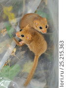 Two young Common / Hazel dormice (Muscardinus avellanarius), captured during a survey in coppiced woodland near Bristol, being held temporarily in a plastic sack, Somerset, UK, October. Non-ex. Стоковое фото, фотограф Nick Upton / Nature Picture Library / Фотобанк Лори
