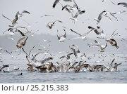 Купить «California gulls (Larus californicus) and Mew gull (Larus canus) catching fish from a baitball near the surface. Johnstone Strait, East Coast, Vancouver Island, British Columbia, Canada, July.», фото № 25215383, снято 24 февраля 2018 г. (c) Nature Picture Library / Фотобанк Лори