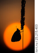 Купить «Marbled whitebButterflies (Melanargia galathea) silhouetted on grass head against the setting sun, Devon, UK, July.», фото № 25215403, снято 1 августа 2019 г. (c) Nature Picture Library / Фотобанк Лори