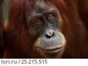 Купить «Sumatran orangutan (Pongo abelii) female 'Jaki' aged 16 years portrait. Gunung Leuser National Park, Sumatra, Indonesia. Rehabilitated and released (or...», фото № 25215515, снято 22 марта 2019 г. (c) Nature Picture Library / Фотобанк Лори