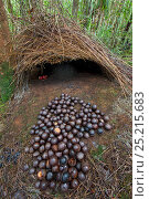 Купить «Bower of Vogelkop bowerbird (Amblyornis inornatus) front entrance of bower decorated with red fruit and acorns, Arfak Mountains, West Papua, Indonesia.», фото № 25215683, снято 22 января 2019 г. (c) Nature Picture Library / Фотобанк Лори
