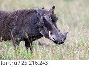 Купить «Warthog (Phaecochoerus aethiopicus)  with Yellow billed oxpeckers (Buphagus africanus) feeding on flies, Masai Mara National Reserve, Kenya, Africa.», фото № 25216243, снято 20 мая 2019 г. (c) Nature Picture Library / Фотобанк Лори