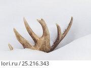 Купить «Caribou (Rangifer tarandus) antler in snow, Alaska, USA. March.», фото № 25216343, снято 24 августа 2019 г. (c) Nature Picture Library / Фотобанк Лори