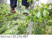 Купить «Dangling feet of man harvesting Khat tree (Catha edulis) Meru, Kenya», фото № 25216487, снято 20 августа 2018 г. (c) Nature Picture Library / Фотобанк Лори