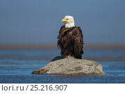 Bald Eagle (Haliaeetus leucocephalus) adult sitting on rock, Cook Inlet, Lake Clark National Park, Alaska, USA, June. Стоковое фото, фотограф Ingo Arndt / Nature Picture Library / Фотобанк Лори