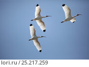 Купить «White Ibis (Eudocimus albus) group of three in flight, Costa Rica», фото № 25217259, снято 9 декабря 2019 г. (c) Nature Picture Library / Фотобанк Лори