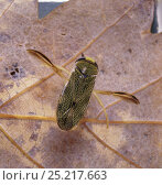 Купить «Water Boatman (Corixa punctata) resting on a leaf at the bottom of a pond. Europe.», фото № 25217663, снято 13 июля 2019 г. (c) Nature Picture Library / Фотобанк Лори