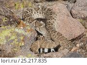 Купить «Western Diamondback Rattlesnake (Crotalus atrox) Sonoran Desert, Mesa, Arizona, USA», фото № 25217835, снято 17 января 2019 г. (c) Nature Picture Library / Фотобанк Лори