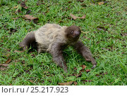 Unau / two-toed sloth (Choloepus didactylus) on ground, French Guiana. Стоковое фото, фотограф Daniel Heuclin / Nature Picture Library / Фотобанк Лори