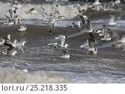 Купить «Mediterranean (Larus melanocephalus), Black-headed (Chroicocephalus ridibundus) Common Gulls (Larus canus) in flight over near the shore, Norfolk, UK, March», фото № 25218335, снято 23 сентября 2018 г. (c) Nature Picture Library / Фотобанк Лори