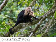 Купить «White-faced Capuchin (Cebus capucinus imitator) large male grabbing sub-adult, Osa Peninsula, Costa Rica», фото № 25218695, снято 21 сентября 2019 г. (c) Nature Picture Library / Фотобанк Лори