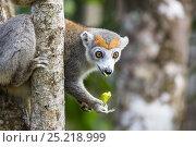 Купить «Crowned lemur (Eulemur coronatus) feeding North Madagascar, Africa», фото № 25218999, снято 22 сентября 2018 г. (c) Nature Picture Library / Фотобанк Лори