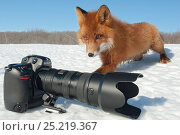 Купить «Red fox (Vulpes vulpes) investigating camera in the snow, Kamchatka, Far East Russia, March 2007.», фото № 25219367, снято 27 мая 2019 г. (c) Nature Picture Library / Фотобанк Лори