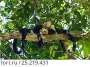 Купить «White-faced Capuchins (Cebus capucinus imitator) grooming while resting.Osa Peninsula, Costa Rica», фото № 25219431, снято 21 сентября 2019 г. (c) Nature Picture Library / Фотобанк Лори