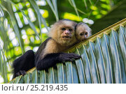 Купить «White-faced Capuchin (Cebus capucinus imitator) mother and baby. Osa Peninsula, Costa Rica», фото № 25219435, снято 20 февраля 2018 г. (c) Nature Picture Library / Фотобанк Лори