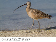 Купить «Long-Billed Curlew (Numenius americanus) hunting in sand for Fiddler Crabs while wintering on Mullet Key, Tampa Bay, Florida, USA», фото № 25219927, снято 17 марта 2018 г. (c) Nature Picture Library / Фотобанк Лори