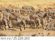 Plains zebra (Equus quagga) and Springbok (Antidorcas marsupialis) drinking at water hole, Etosha National Park, Namibia. Стоковое фото, фотограф Dave Watts / Nature Picture Library / Фотобанк Лори