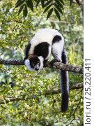 Купить «Black and white ruffed Lemur (Varecia variegata) on branch, East Madagascar, Africa», фото № 25220411, снято 22 сентября 2018 г. (c) Nature Picture Library / Фотобанк Лори