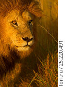 African Lion (Panthera leo) male 'Notch' portrait, Masai Mara, Kenya. Стоковое фото, фотограф Andy Rouse / Nature Picture Library / Фотобанк Лори