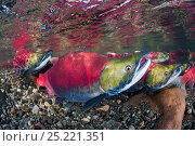 Купить «Group of male Sockeye salmon (Oncorhynchus nerka) in their spawning river. Adams River, British Columbia, Canada, October.», фото № 25221351, снято 4 июля 2020 г. (c) Nature Picture Library / Фотобанк Лори