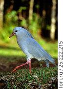 Купить «Kagu (Rhynochetos jubatus) profile, New Caledonia, endangered and endemic», фото № 25222215, снято 19 июля 2019 г. (c) Nature Picture Library / Фотобанк Лори