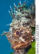 A portrait of a Black scorpionfish (Scorpaena porcus) showing venomous spines, La Caletta, Sardinia, Italy. Mediterranean Sea. Стоковое фото, фотограф Alex Mustard / Nature Picture Library / Фотобанк Лори