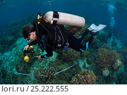 Купить «Diver measuring coral growth and cover, Bilang Bilangang Island, Danajon Bank, Central Visayas, Philippines, April 2013», фото № 25222555, снято 27 марта 2019 г. (c) Nature Picture Library / Фотобанк Лори